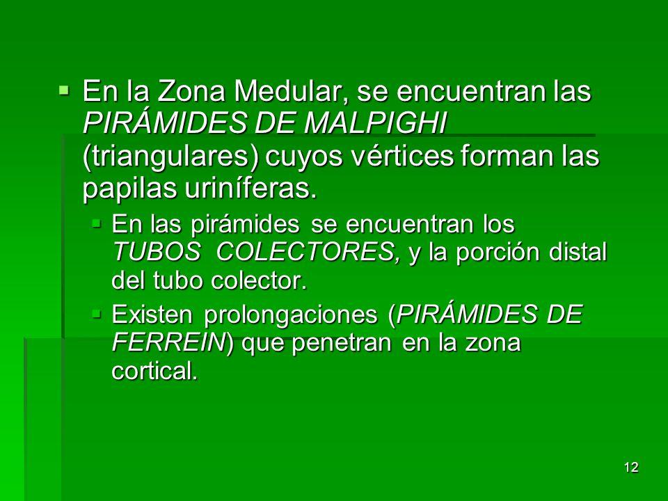 En la Zona Medular, se encuentran las PIRÁMIDES DE MALPIGHI (triangulares) cuyos vértices forman las papilas uriníferas.