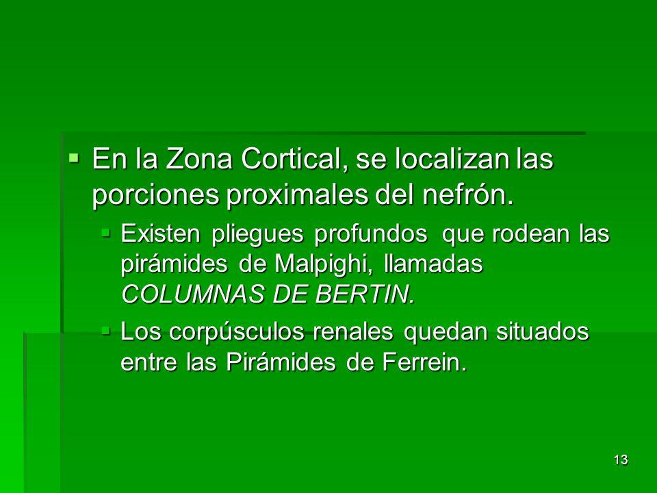 En la Zona Cortical, se localizan las porciones proximales del nefrón.