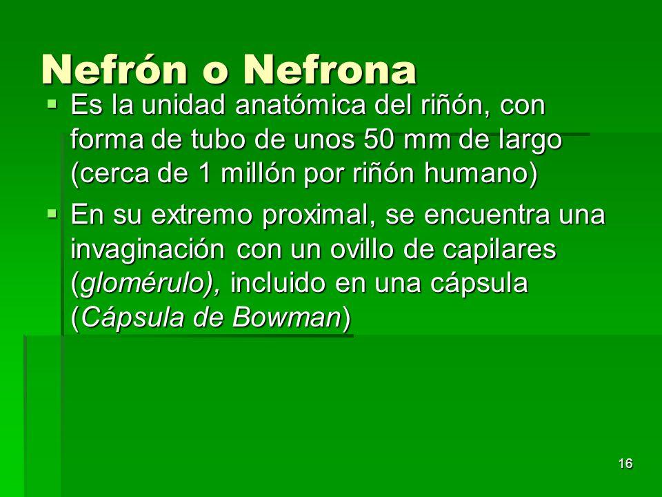 Nefrón o Nefrona Es la unidad anatómica del riñón, con forma de tubo de unos 50 mm de largo (cerca de 1 millón por riñón humano)