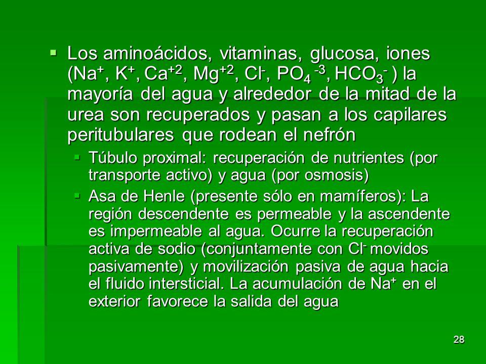 Los aminoácidos, vitaminas, glucosa, iones (Na+, K+, Ca+2, Mg+2, Cl-, PO4 -3, HCO3- ) la mayoría del agua y alrededor de la mitad de la urea son recuperados y pasan a los capilares peritubulares que rodean el nefrón