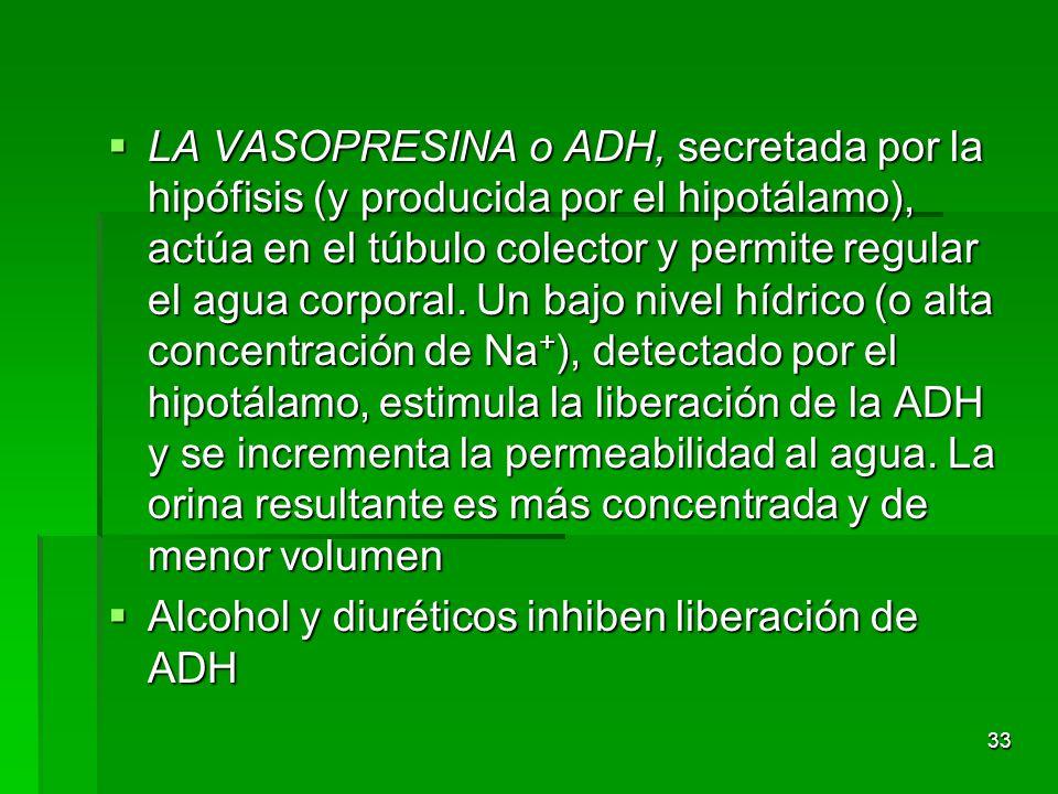 LA VASOPRESINA o ADH, secretada por la hipófisis (y producida por el hipotálamo), actúa en el túbulo colector y permite regular el agua corporal. Un bajo nivel hídrico (o alta concentración de Na+), detectado por el hipotálamo, estimula la liberación de la ADH y se incrementa la permeabilidad al agua. La orina resultante es más concentrada y de menor volumen