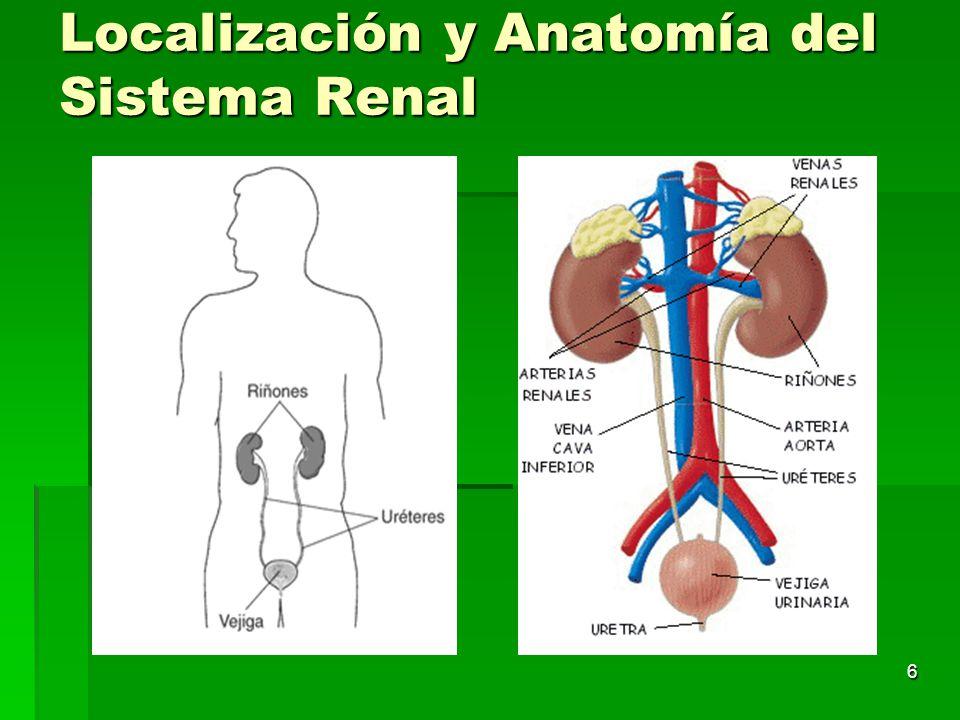 Increíble Sistema De La Anatomía Renal Colección - Imágenes de ...