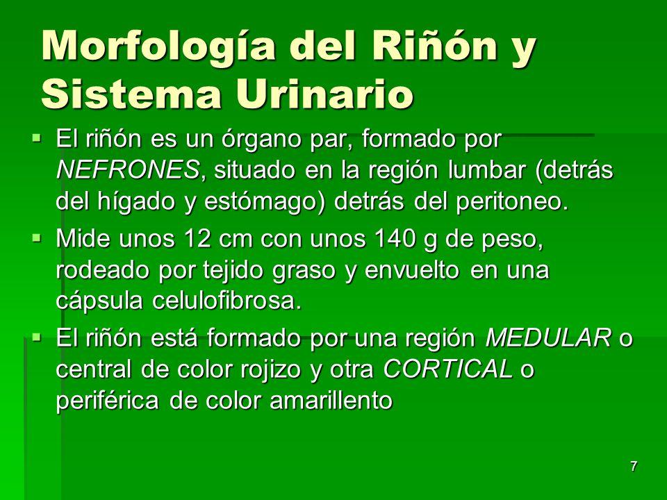 Morfología del Riñón y Sistema Urinario