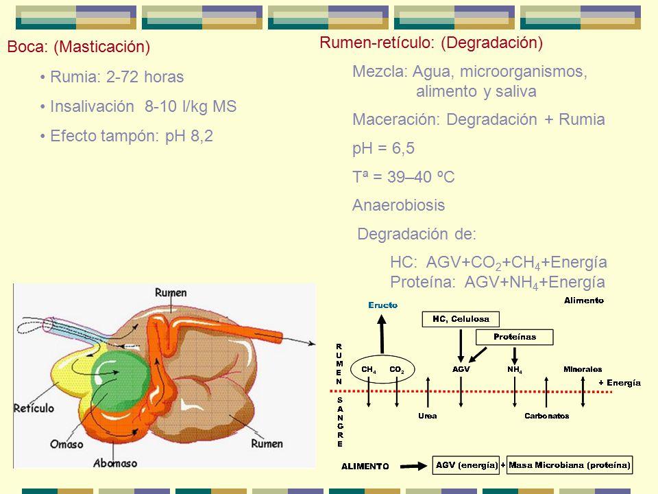 Boca: (Masticación) Rumia: 2-72 horas. Insalivación 8-10 l/kg MS. Efecto tampón: pH 8,2. Rumen-retículo: (Degradación)