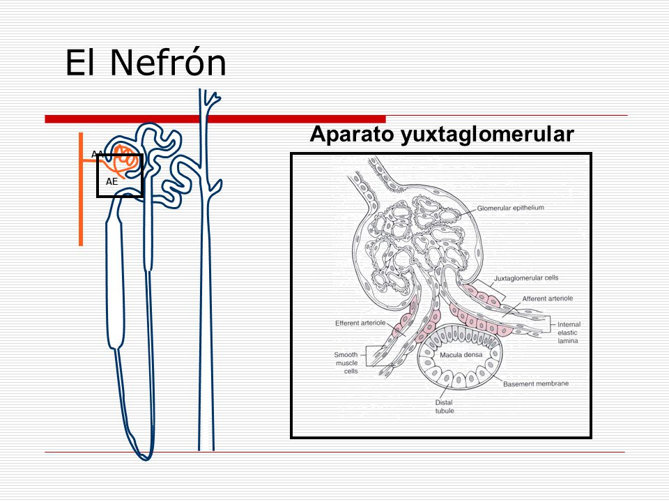 El Nefrón Aparato yuxtaglomerular AA AE