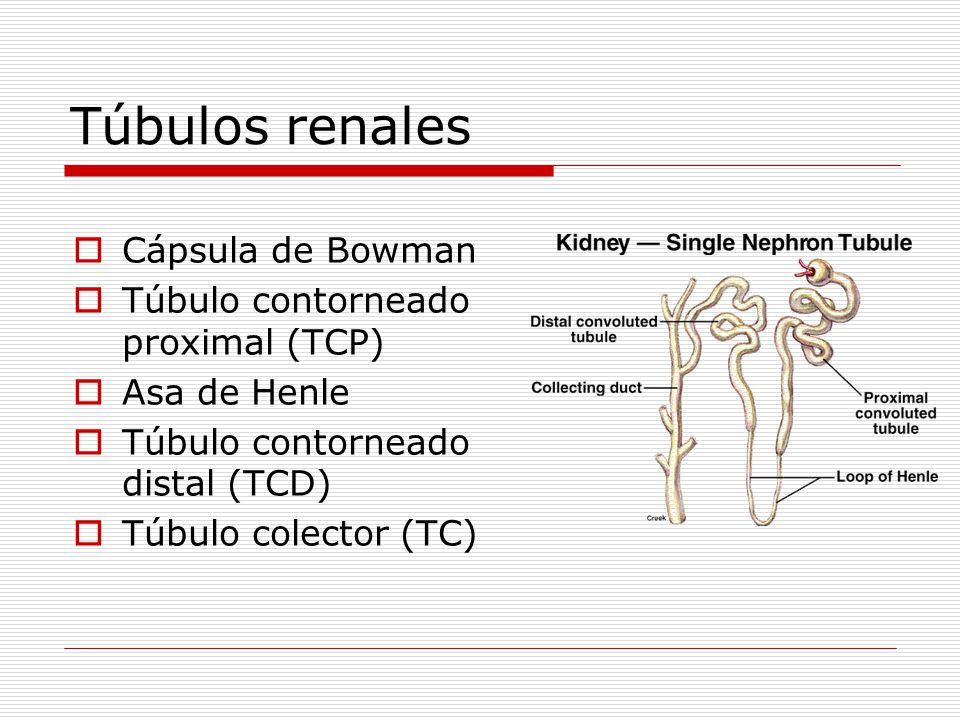 Túbulos renales Cápsula de Bowman Túbulo contorneado proximal (TCP)