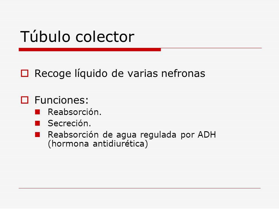Túbulo colector Recoge líquido de varias nefronas Funciones: