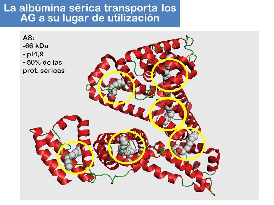 La albúmina sérica transporta los AG a su lugar de utilización