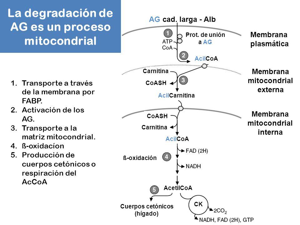 La degradación de AG es un proceso mitocondrial