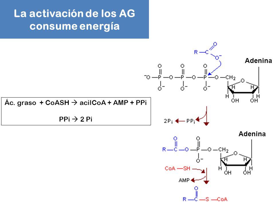 La activación de los AG consume energía