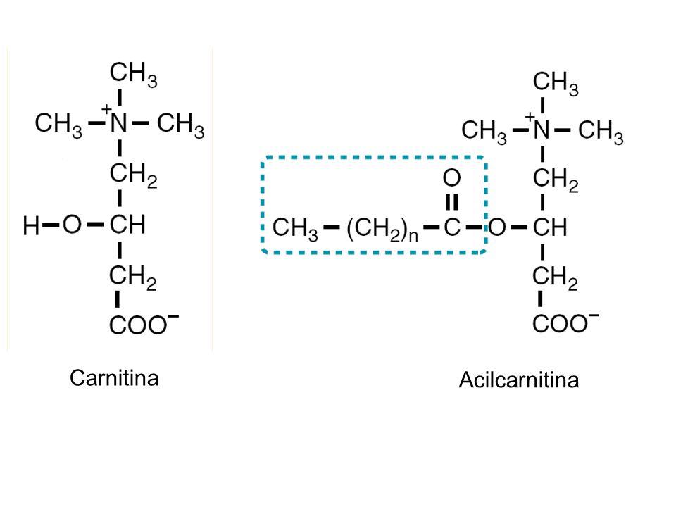 Carnitina Acilcarnitina