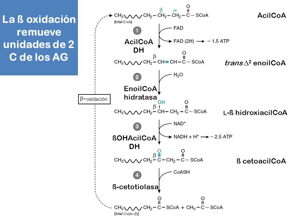 La ß oxidación remueve unidades de 2 C de los AG