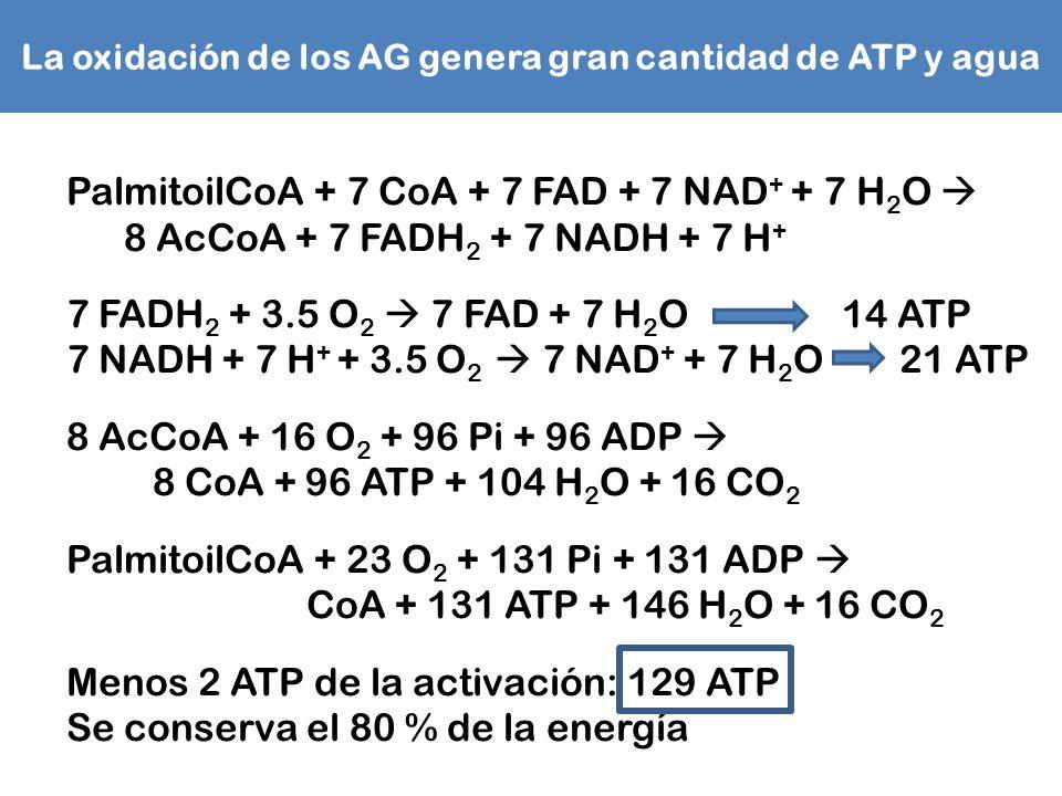 La oxidación de los AG genera gran cantidad de ATP y agua