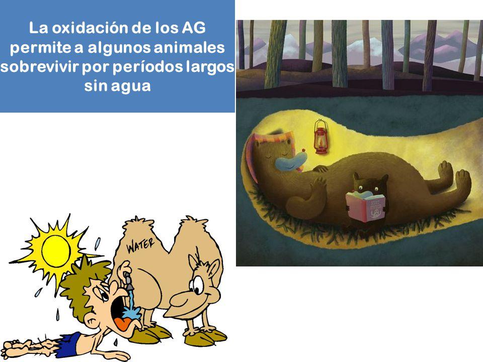 La oxidación de los AG permite a algunos animales sobrevivir por períodos largos sin agua