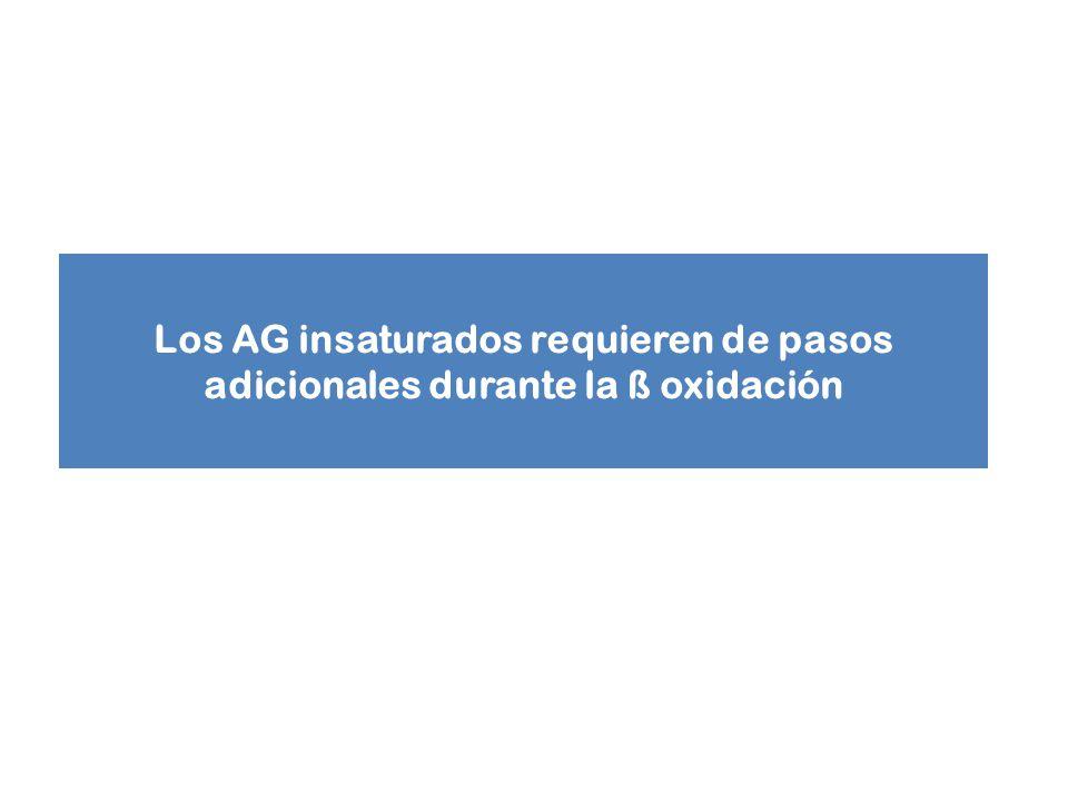 Los AG insaturados requieren de pasos adicionales durante la ß oxidación