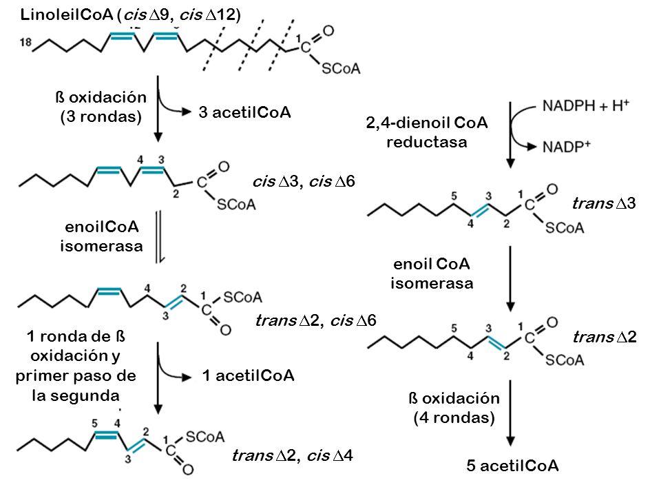LinoleilCoA (cis D9, cis D12)