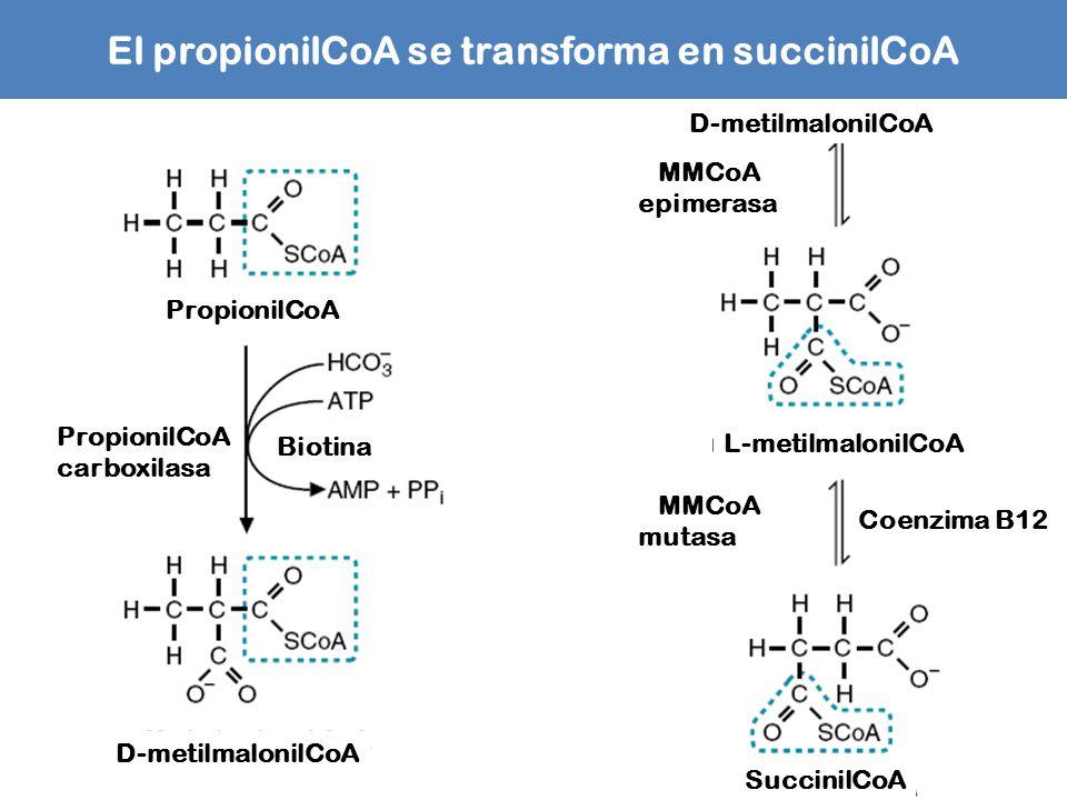 El propionilCoA se transforma en succinilCoA