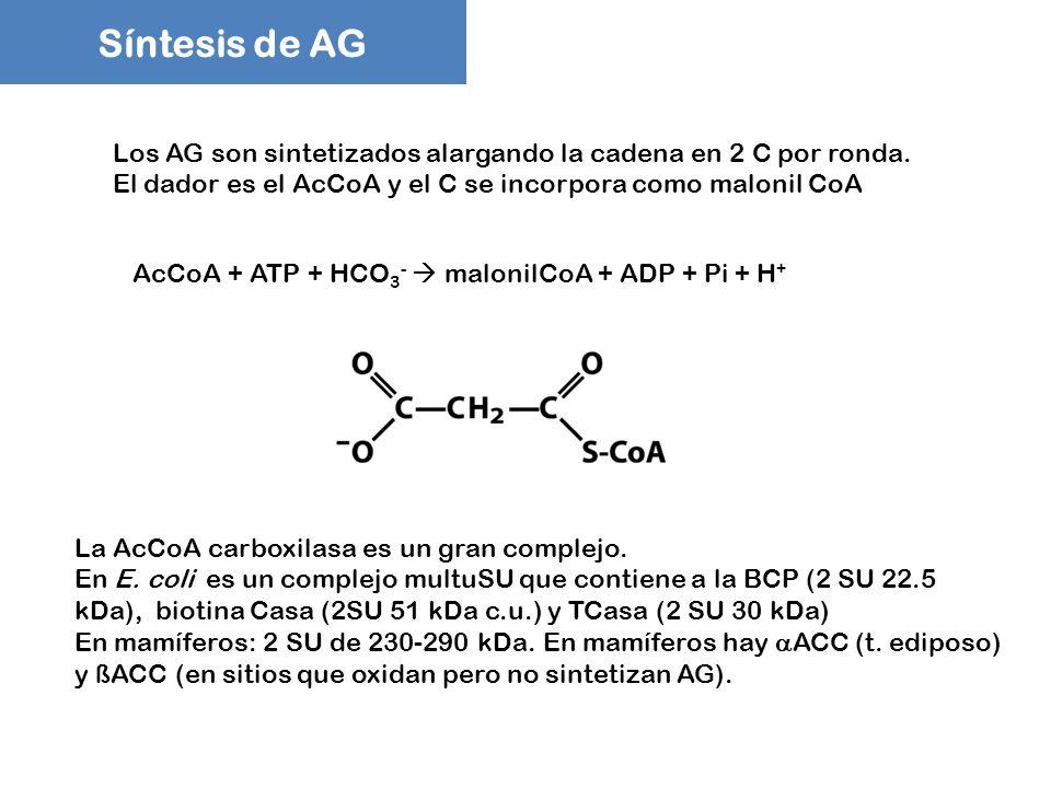 Síntesis de AG Los AG son sintetizados alargando la cadena en 2 C por ronda. El dador es el AcCoA y el C se incorpora como malonil CoA.