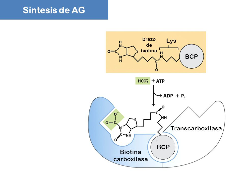 Síntesis de AG Lys BCP Transcarboxilasa BCP Biotina carboxilasa brazo