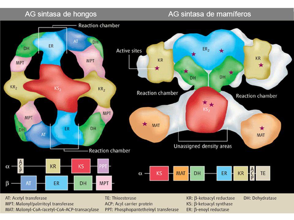AG sintasa de hongos AG sintasa de mamíferos
