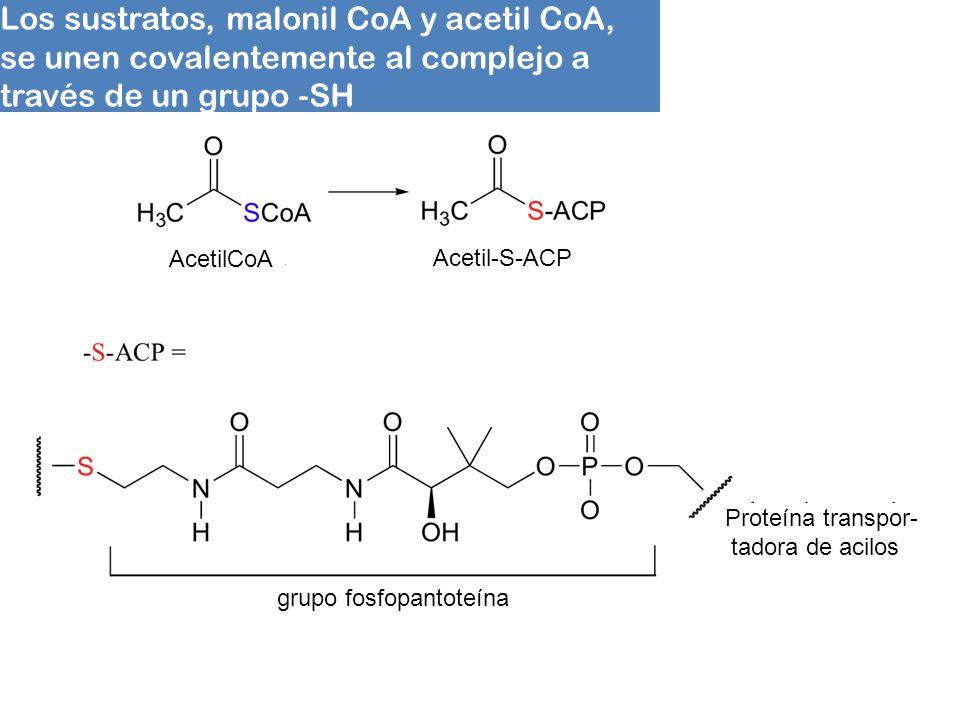 Los sustratos, malonil CoA y acetil CoA,
