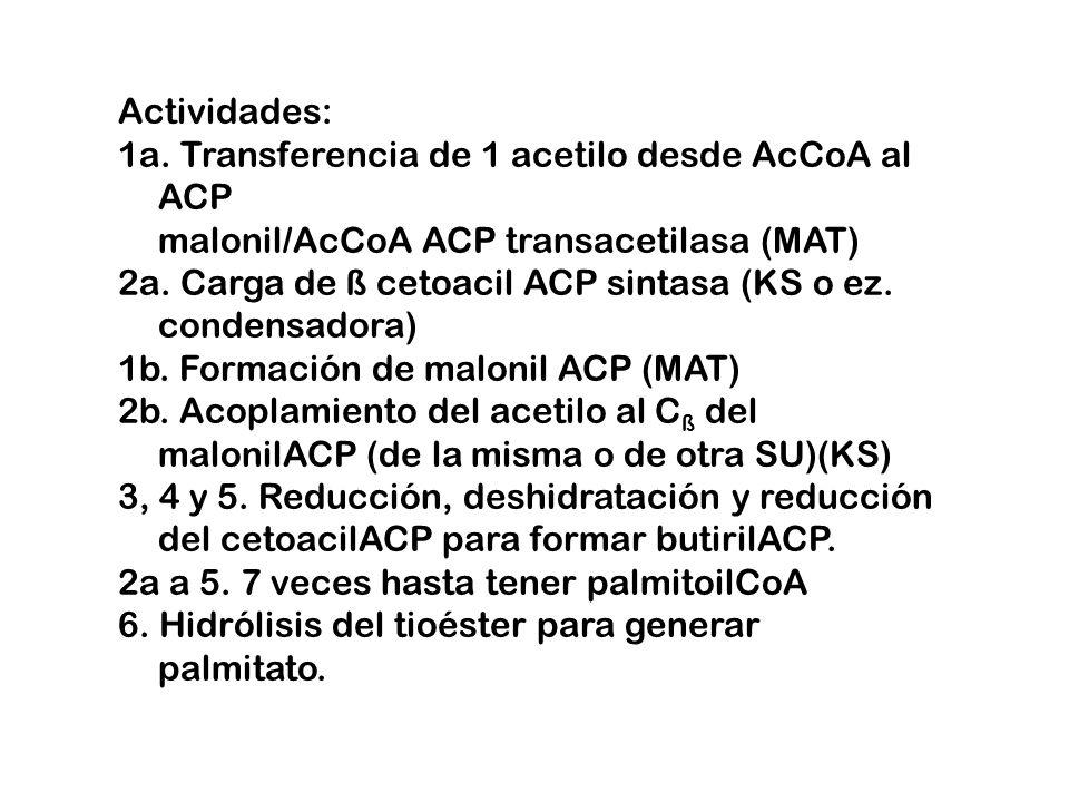 Actividades: 1a. Transferencia de 1 acetilo desde AcCoA al ACP malonil/AcCoA ACP transacetilasa (MAT)