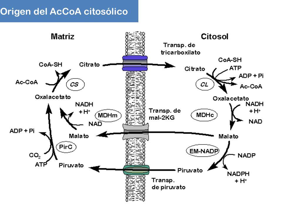 Origen del AcCoA citosólico