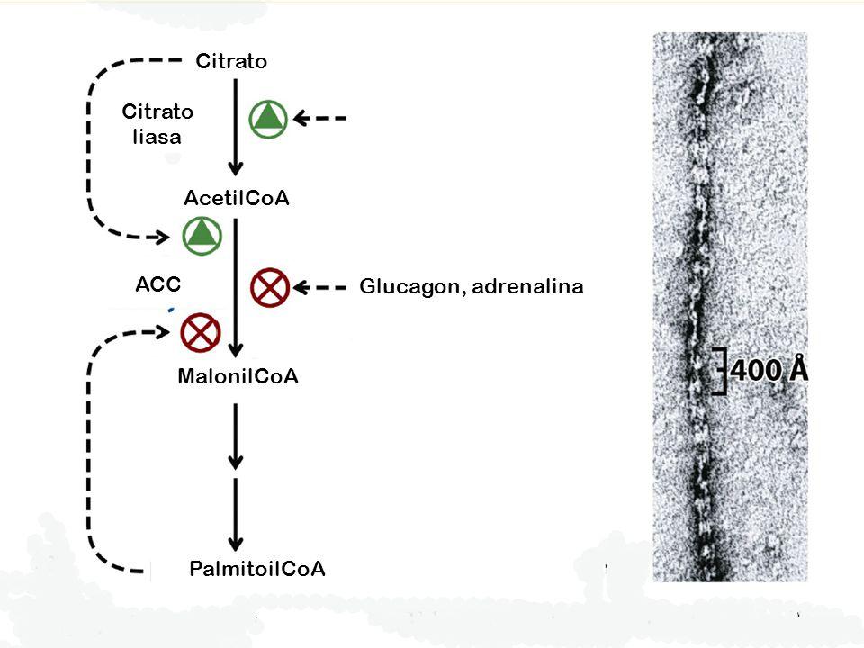 Citrato Citrato liasa AcetilCoA ACC Glucagon, adrenalina MalonilCoA PalmitoilCoA
