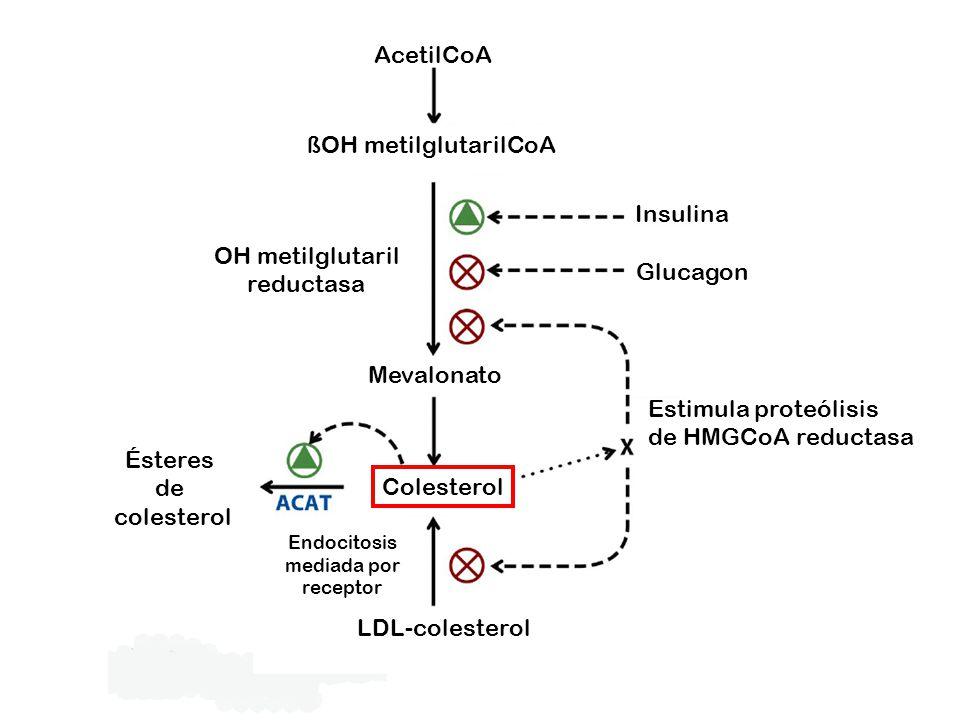 AcetilCoA ßOH metilglutarilCoA Insulina OH metilglutaril reductasa