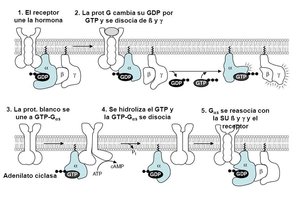 2. La prot G cambia su GDP por GTP y se disocia de ß y g