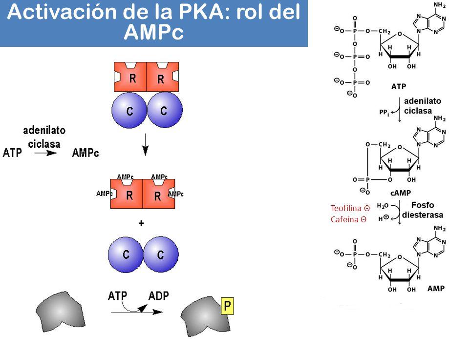 Activación de la PKA: rol del AMPc