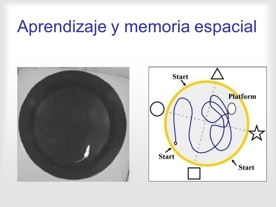 Aprendizaje y memoria espacial