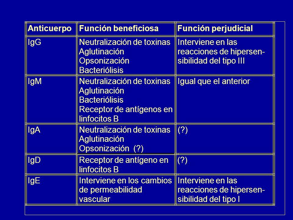 Anticuerpo Función beneficiosa. Función perjudicial. IgG. Neutralización de toxinas. Interviene en las.