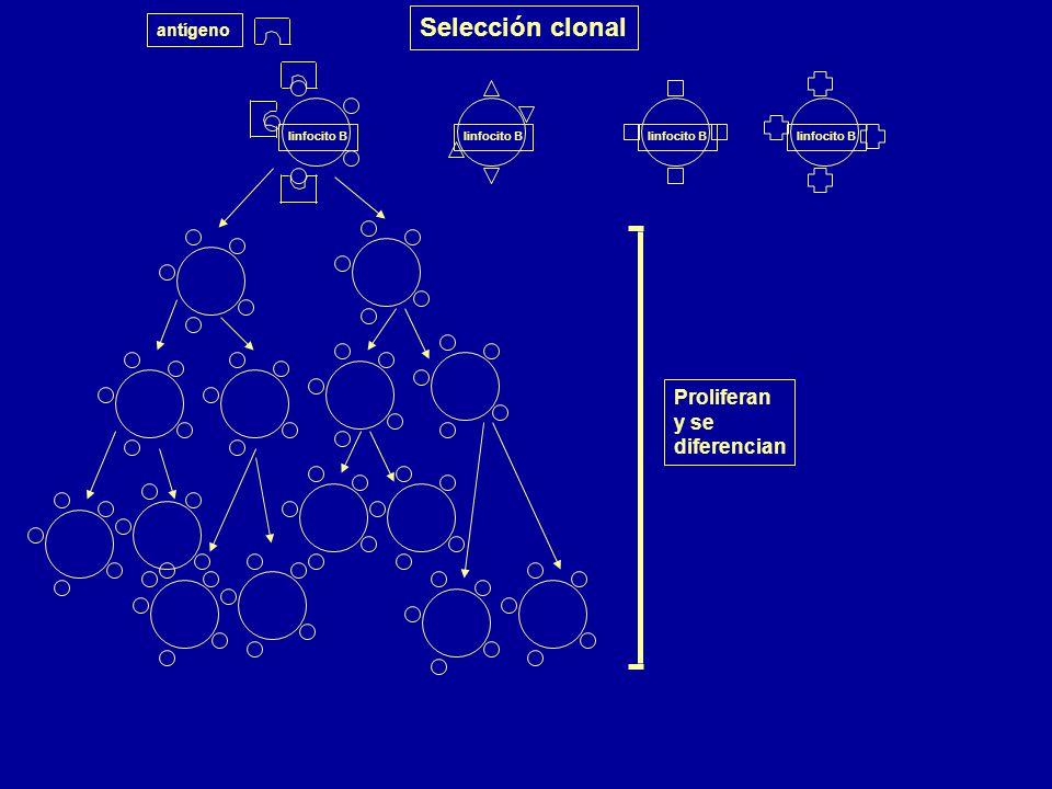Selección clonal Proliferan y se diferencian antígeno linfocito B