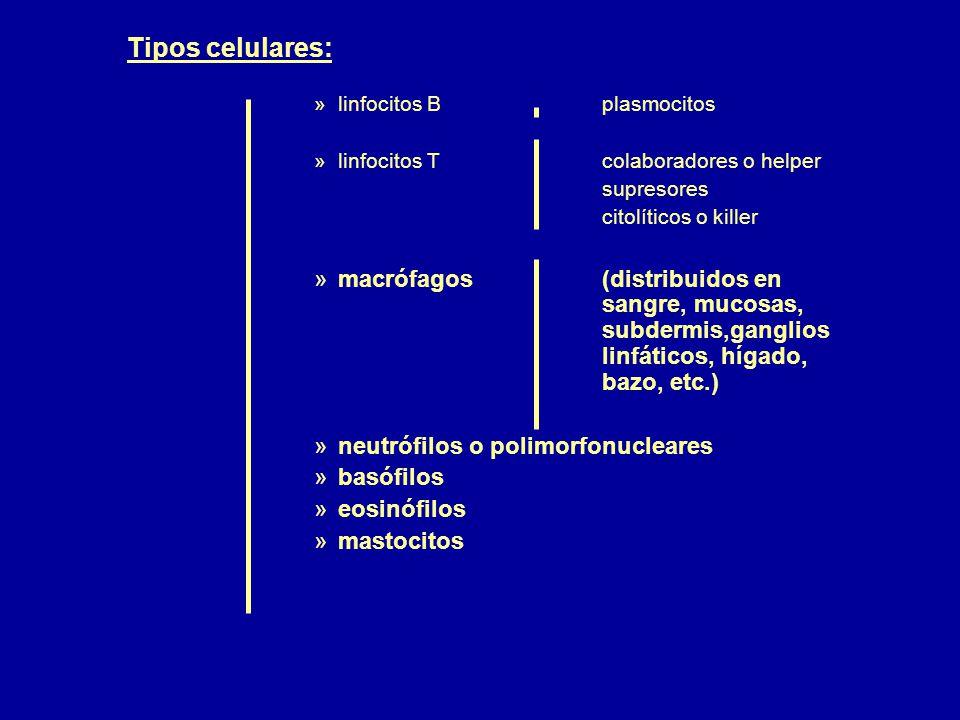 Tipos celulares: linfocitos B plasmocitos. linfocitos T colaboradores o helper.
