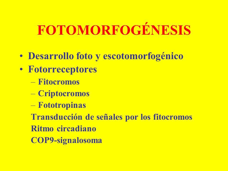 FOTOMORFOGÉNESIS Desarrollo foto y escotomorfogénico Fotorreceptores