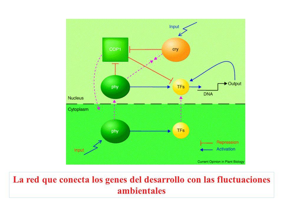 La red que conecta los genes del desarrollo con las fluctuaciones ambientales