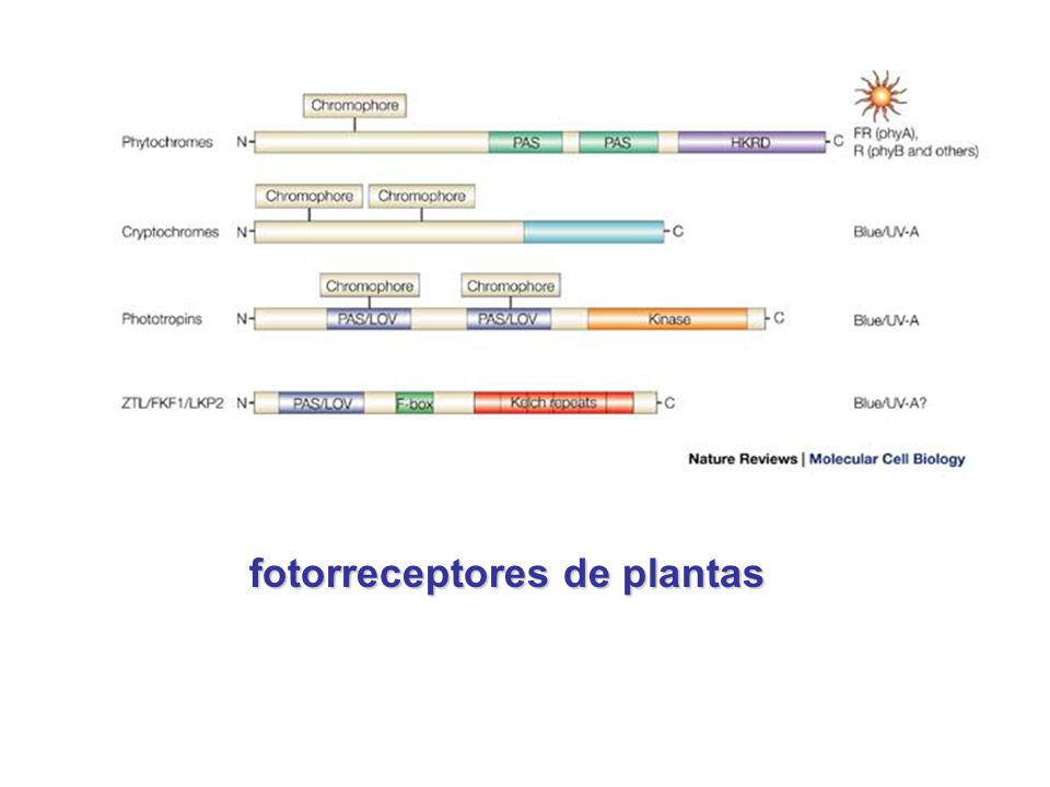 fotorreceptores de plantas