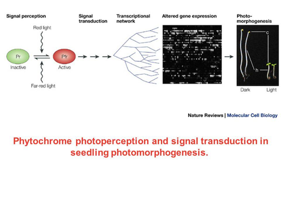 Phytochrome photoperception and signal transduction in seedling photomorphogenesis.