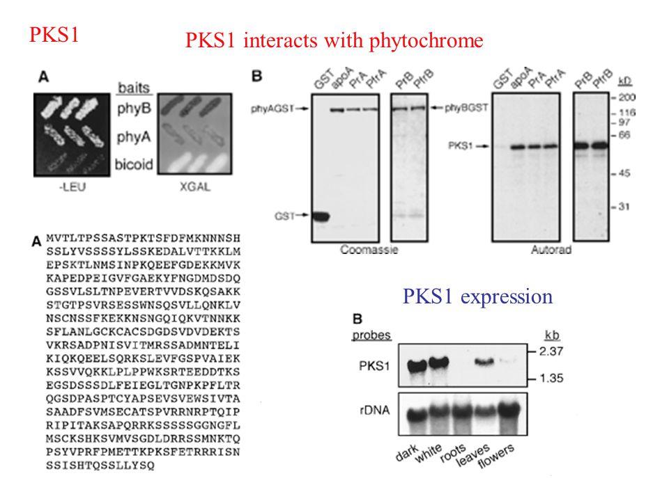 PKS1 PKS1 interacts with phytochrome PKS1 expression