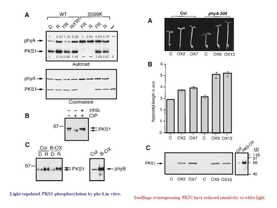 Light-regulated PKS1 phosphorylation by phyA in vitro.