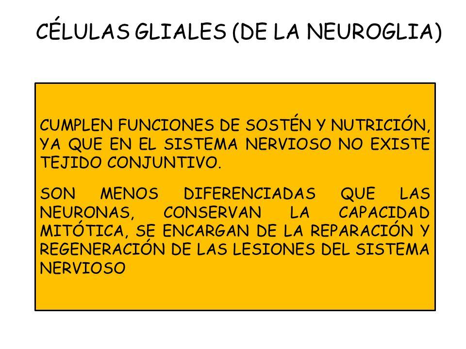 CÉLULAS GLIALES (DE LA NEUROGLIA)