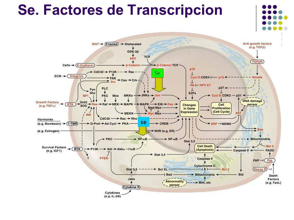 Se. Factores de Transcripcion