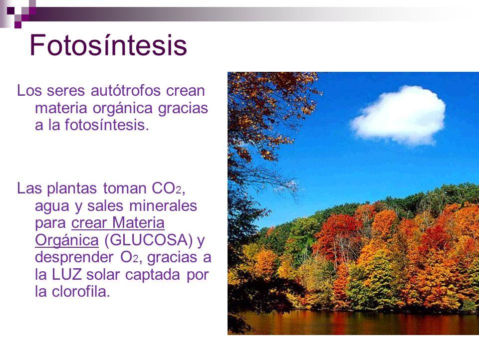 Fotosíntesis Los seres autótrofos crean materia orgánica gracias a la fotosíntesis.