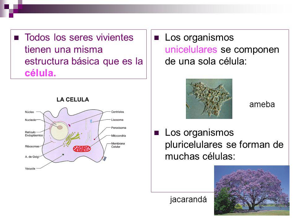 Los organismos unicelulares se componen de una sola célula: