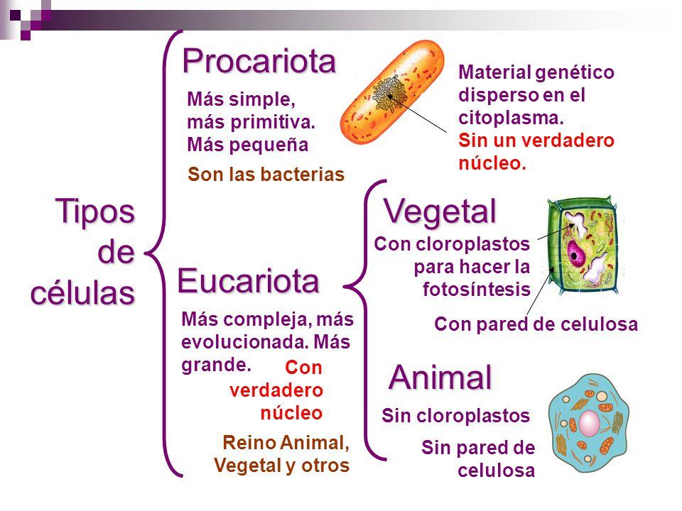 Tipos de células Procariota Eucariota Animal Vegetal