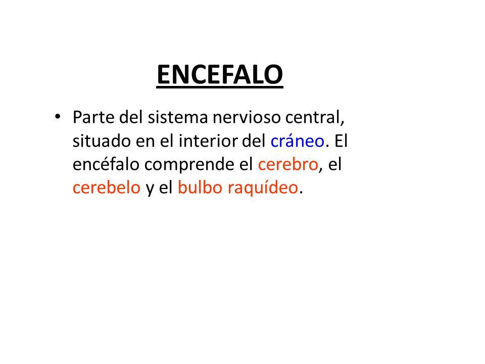 ENCEFALO Parte del sistema nervioso central, situado en el interior del cráneo.