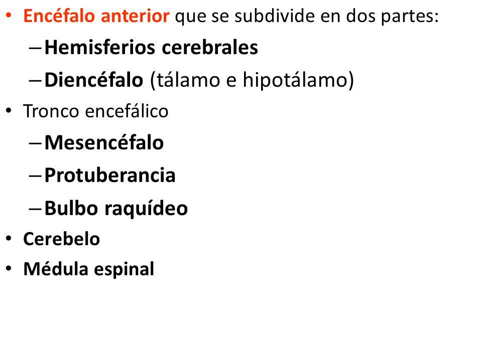 Hemisferios cerebrales Diencéfalo (tálamo e hipotálamo) Mesencéfalo