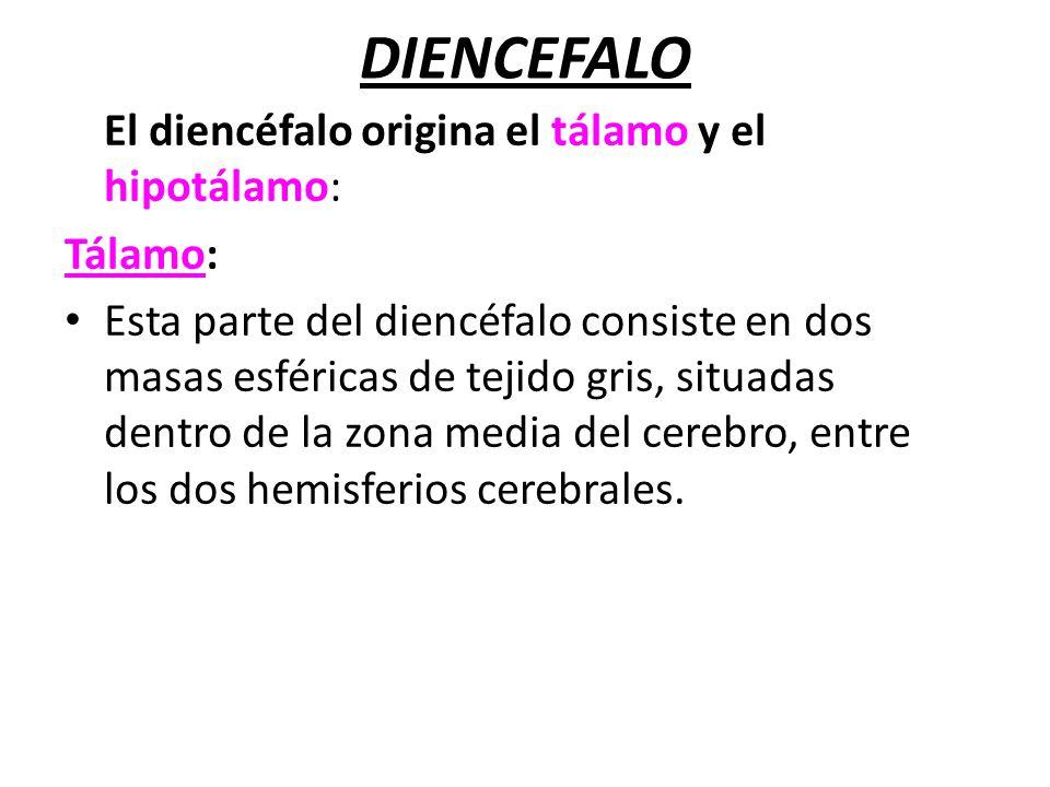 DIENCEFALO El diencéfalo origina el tálamo y el hipotálamo: Tálamo:
