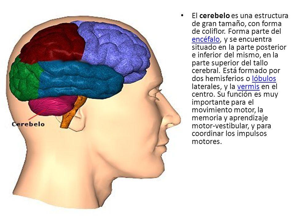 El cerebelo es una estructura de gran tamaño, con forma de coliflor